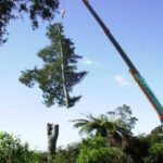 Crosscut Treework removing a row of large redwoods with a mobile crane
