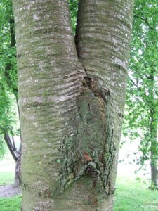 Included bark or split trunks may become unstable and dangerous. Crosscut Treework can help you with a maintenance plan to minimise damage to your tree or property.