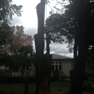 This badly storm damaged tree was endangering nearby buildings and needed to be removed